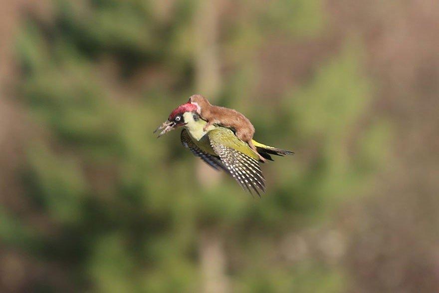 Fantastiski rets skats: zebiekste lido uz dzeņa muguras