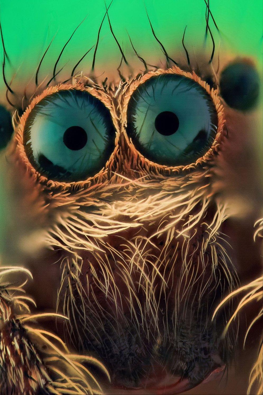 Страшные или милые? 12 макрофото пауков-скакунов с четырьмя парами… глаз