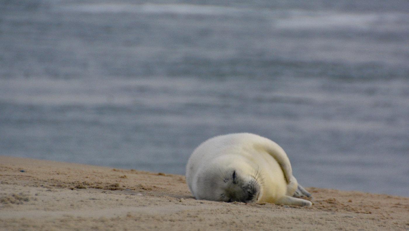 RTU studente izdomājusi risinājumu, kā roņu mazuļiem nekļūt par silto ziemu upuriem