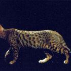 Kalifornijas leopardkaķis