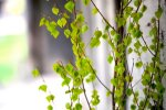 Arī šogad Latvijas iedzīvotājs valsts mežos drīkst nozāģēt ne vairāk kā piecas bērzu meijas