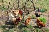 Передача: В домашних хозяйствах не спешат регистрировать всех кур и уток