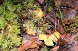 'Mērcītei pietiks' – lasītāja Vecgada dienā mežā atrod gailenes