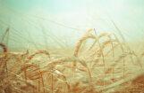 EK: sausuma un karstuma dēļ šogad Latvijā paredzama par 9% mazāka kviešu raža