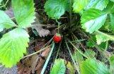 ФОТО: В Саулкрасты цветут одуванчики, в Рагациемсе спеет земляника