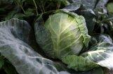 'Zemnieku saeima': Šogad būs ļoti laba kāpostu, kartupeļu, burkānu un biešu raža