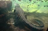 Австралиец три дня прятался от крокодила на острове