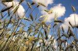 'Rīgas dzirnavnieks': šogad graudi padevušies labāki tajos laukos, kuri nav mēsloti