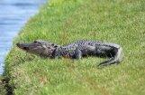 ASV veikalā ierāpo divmetrīgs aligators