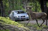 Autovadītājiem bīstamākie meža dzīvnieki – aļņi, brieži, mežacūkas un stirnas