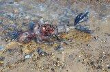 Foto: Pie Lielbritānijas krastiem atrasts ļoti dīvains radījums