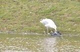 Zvērīga kaija apēd balodi (video)