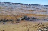 Atbildīgie dienesti no Vecāķu pludmales piecas stundas nevar aizvākt beigtu roni