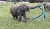 Zilonis - mākslas vingrotājs. Izpildījums ar lentu...