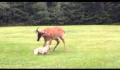 Briedis un suns cīņā par mauriņu