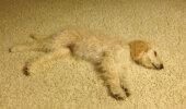 Suņuflāža