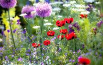 Vasaras puķes: Kā izvēlēties, kur stādīt un kā kopt?