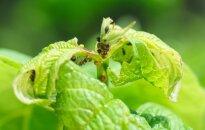 Sērga dārzā: izplatītākās laputis un to ierobežošana