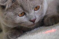 Lāzera mistērija – kāpēc kaķi kā aptrakuši cenšas to noķert