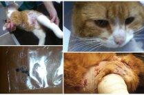 Dzīvnieku glābējus pārsteidz kaķis, kurš sašauts ar skrotīm