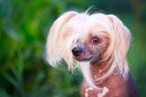 Desmit jocīga un neparasta paskata suņi, kas neatstās vienaldzīgus