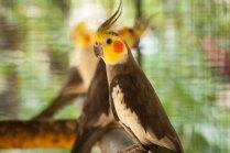 Kā noteikt papagaiļa dzimumu?