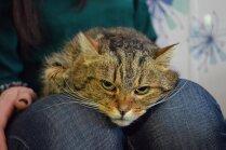 Meklē mājas: kaķenīte Šērlija, kura ir kliba cilvēku nevērības dēļ