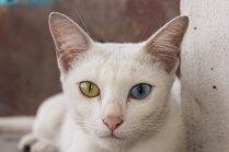 Kaķu šķirne: Khao Manee jeb 'baltā pērle' ar dažādu krāsu acīm