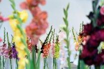 Foto: Dabas muzeju rotā koša gladiolu izstāde