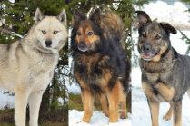 Meklē mājas: haskijam līdzīgais Bozo un divi suņi, kuriem miruši iepriekšējie saimnieki