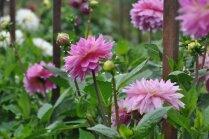 Foto: Daiļo dāliju diena Salaspils botāniskajā dārzā
