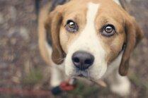 Kāpēc nevajadzētu ilgstoši skatīties suņa acīs