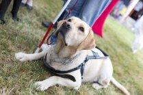 Ne gluži parasts mājdzīvnieks – skaidros, kā un kāpēc suns var palīdzēt cilvēkam