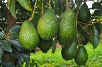 Kā aug eksotiskie avokado augļi