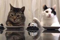Video: Apķērīgi kaķi pieprasa gardumus, skandinot zvaniņu