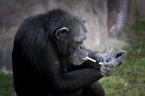 Pasauli satriec smēķējoša šimpanze, kura zoodārzam piesaista apmeklētājus