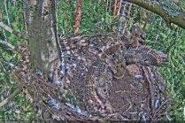 Amizants video: Ūpēns ligzdā apmet kūleni