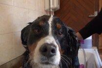 Cik bieži saimniekam vajadzētu mazgāt savu suni