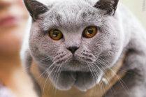 Aicina uz pirmo starptautisko kaķu izstādi šogad
