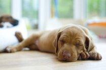 Mūžīgā snauda: kāpēc suņi tik ilgi guļ