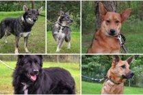 Aizlauztās dzīves: seši nelaimē nonākuši suņuki, kuri meklē gādīgus un mīlošus saimniekus
