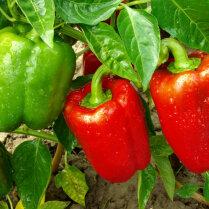 Чем подкормить перец во время цветения и созревания плодов