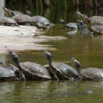 Черепахи общаются между собой при помощи звуков
