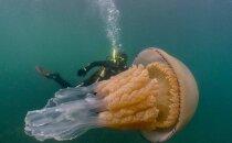 Neparasti kadri: Anglijas piekrastē iemūžināta gigantiska medūza