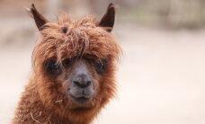 Rīgas zoodārzs plūdos izpostītajam Tbilisi zoodārzam dāvinās septiņus dzīvniekus
