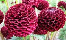 Foto: Atvasaras skaistules dālijas un speciālista padomi to audzēšanā