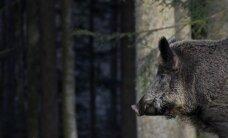 Somijā ĀCM dēļ iesaka neievest mežacūku gaļu no Baltijas valstīm un Polijas