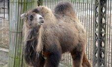 Pirmie Rīgas zoo dāvinātie dzīvnieki nonākuši Tbilisi
