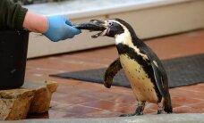 Zoodārzā atsāk dzīvnieku barošanas demonstrācijas un aicina uz Kameņu dienām