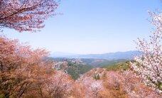 Foto: Reibinošā sakuras ķiršu ziedēšana Japānā